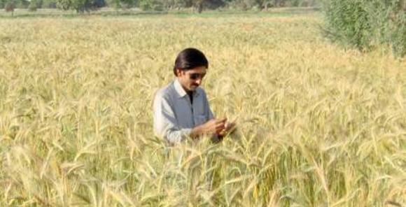 wheat pakistan